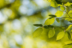 Beautiful, harmonious forest detail, with hornbeam leaves Stock Images