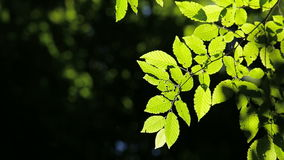 Beautiful, harmonious forest detail, with hornbeam leaves stock footage