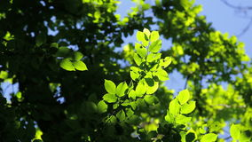 Beautiful, harmonious forest detail, with hornbeam leaves stock video footage