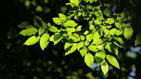 Beautiful, harmonious forest detail, with hornbeam leaves stock video