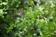 Green foliage on a spring day. Beautiful, harmonious forest detail, with hornbeam leaves. background with sunshine Royalty Free Stock Photo