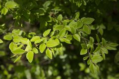 Green foliage on a spring day. Beautiful, harmonious forest detail, with hornbeam leaves. background with sunshine Stock Image