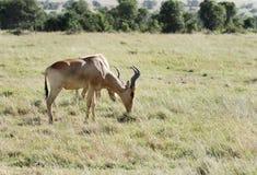 Beautiful Hartebeest antelopes grazing Stock Image