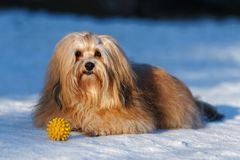 Beautiful havanese dog lying in a snowy park Royalty Free Stock Image