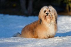 Beautiful havanese dog sitting in a snowy park Royalty Free Stock Photography