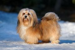 Beautiful havanese dog stands in a snowy park. Beautiful show champion havanese female dog stands in a snowy park Royalty Free Stock Photo