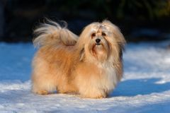 Beautiful havanese dog stands in a snowy park Royalty Free Stock Photography