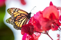 Beautiful Hawaiian Flower Royalty Free Stock Photography