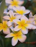 Beautiful Hawaiian flowers Stock Photo