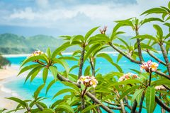 Beautiful Hawaiian Plumeria flowers on idyllic tropical backdrop. Beautiful pink, white, and yellow Plumeria flowers, also known as frangipani, growing in nature stock photography