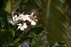 Hawaii Plumeria flowers used in Hawaiian Leis. Beautiful white Plumeria flower bush with palm tree in the background on a sunny day. This flower is used in the royalty free stock photos