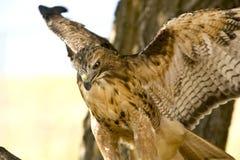Beautiful Hawk Stock Image