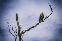 Beautiful hawk on branch under blue sky. And clouds Stock Image