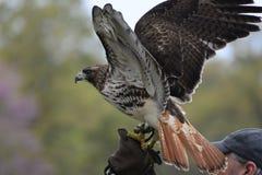 Beautiful Hawk Stock Photo