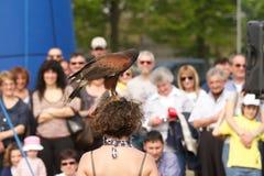 Beautiful hawk Royalty Free Stock Photos