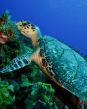 A Hawksbill Turtle on the Reef of Cozumel stock photography