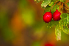 Beautiful hawthorn berries in autumn and colorful leaves. Royalty Free Stock Photo