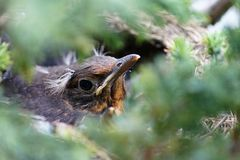Beautiful head of a blackbird seen through blurred branches. Black-orange birds head photographed through green branches of his hometree Stock Photography