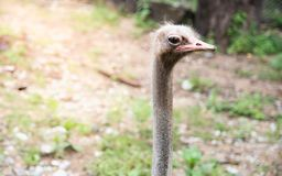Beautiful head of an ostrich on a nature background , Wildlife a. Nimal stock photos