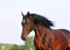 Beautiful head portrait of bay horse Royalty Free Stock Photo
