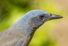 Mexican Jay Close-up Royalty Free Stock Photography