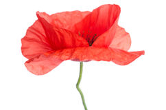 Beautiful head of red poppy Stock Photos