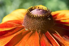 Beautiful head of yellow-red echinacea flower. Side view, close-up stock photo