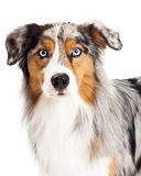 Beautiful Headshot of Australian Shepherd Dog Stock Image