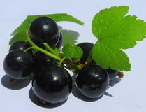 Beautiful and healthy blackcurrant with green leaves Royalty Free Stock Images