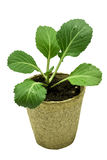 Beautiful Healthy Cabbage Plant Ready To Plant Stock Photography