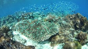 Beautiful Reef and Colorful Fish Near Alor, Indonesia. A beautiful and healthy coral reef thrives near the island of Alor, Indonesia. This remote region, within stock video