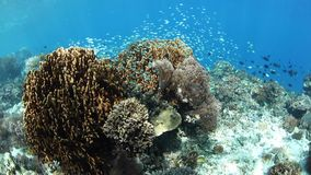 Beautiful Reef and Small Fish Near Alor, Indonesia. A beautiful and healthy coral reef thrives near the island of Alor, Indonesia. This remote region, within the stock video