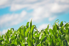 Beautiful Healthy Corn Field Stock Images