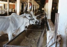 Indian Cow in cowshed. Beautiful and healthy cow eating food. curved and color full horn, beautiful face and white color of cow providing beauty to the cow stock images