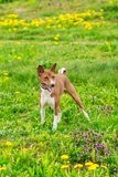 Basenji dog of brown color on a green field. Beautiful healthy dog Basenji in the field of green grass in summer Stock Image