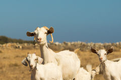 Beautiful healthy goat family moment. Close up Stock Photos