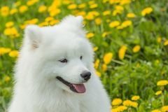Beautiful healthy Samoyed puppy dog with a funny face and tongue Stock Photos