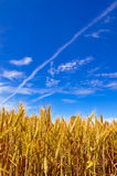 Beautiful healthy wheat ears under a blue sky Stock Images