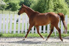 Beautiful healthy youngster canter against white paddock fence. Beautiful young chestnut colored horse galloping in the corral summertime stock photography