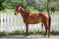 Beautiful healthy youngster canter against white paddock fence. Beautiful young chestnut colored horse posing the corral summertime royalty free stock photography