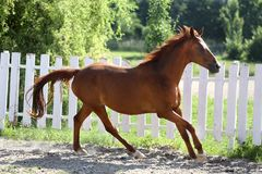 Beautiful healthy youngster canter against white paddock fence. Beautiful young chestnut colored horse galloping in the corral summertime royalty free stock photography
