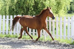 Beautiful healthy youngster canter against white paddock fence. Beautiful young chestnut colored horse galloping in the corral summertime royalty free stock photos