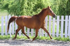 Beautiful healthy youngster canter against white paddock fence. Beautiful young chestnut colored horse galloping in the corral summertime royalty free stock photo