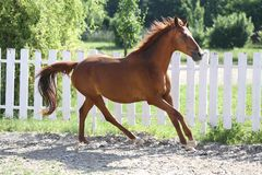 Beautiful healthy youngster canter against white paddock fence. Beautiful young chestnut colored horse galloping in the corral summertime stock photos