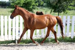 Beautiful healthy youngster canter against white paddock fence. Beautiful young chestnut colored horse galloping in the corral summertime stock images