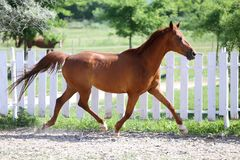 Beautiful healthy youngster canter against white paddock fence. Beautiful young chestnut colored horse galloping in the corral summertime stock photo