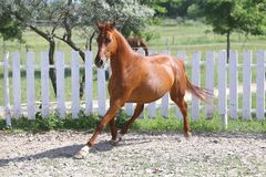 Beautiful healthy youngster canter against white paddock fence. Beautiful young chestnut colored horse galloping in the corral summertime royalty free stock images