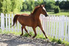 Beautiful healthy youngster canter against white paddock fence. Beautiful young chestnut colored horse galloping in the corral summertime royalty free stock image