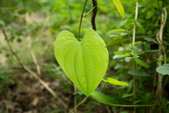 Beautiful heart leafs. Stock Image