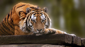 Beautiful heartwarming image of tiger laying down Stock Photography